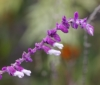 Salvia leucantha Cav. Fleurs.