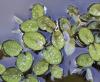 Fougère aquatique