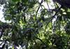 sapotier fruit sapote Diospyros nigra.