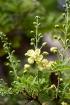 Fleurs : Caesalpinia decapetala. Caesalpine des haies. Sappan.