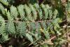 Feuilles : Caesalpinia decapetala.