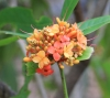 Saraca asoca (Roxb.) Willd