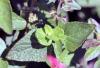 Salvia coccinea. Feuilles.