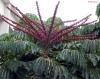 Schefflera actinophylla. Arbre ombrelle. Araignée. Arbre pieuvre.