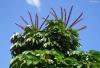 Schefflera actinophylla. Fleurs.