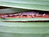Scorpion Isometrus maculatus Faune de l'île de La Réunion