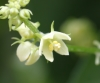 Sechium edule. Fleur.
