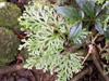 Selaginella sinuosa (Desv.) Alston.