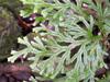 Selaginella sinuosa (Desv.) Alston