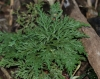 Selaginella distachya Cordem