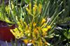Fleurs Senecio barbertonicus.