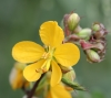 Senna occidentalis (L.) Link