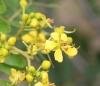 Cassia du Siam