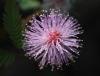 Mimosa pudica. Fleur.