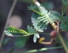 Mimosa pudica. Feuille.