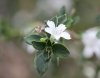 Serissa japonica (Thunb.) Thunb