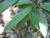 Sideroxylon majus (C.F. Gaertn.) Baehni