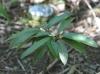 Sideroxylon majus (C.F. Gaertn.) Baehni.