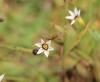 Sisyrinchium micranthum Cav. Fleur.