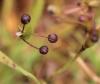Sisyrinchium micranthum Cav. Fruits.