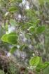 Smilax anceps Willd.