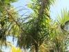Palmier marcheur, Palmier à échasses
