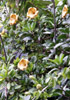 Solandre Calice d'or Liane trompette Solandra grandiflora