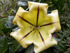 Solandra grandiflora Sw