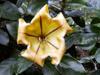 Solandre Calice d'or Liane trompette : Fleur
