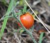 Solanum lycopersicum L. Tomate. Fruit.