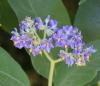 Tige : Bringellier marron ou tabac marron - Solanum mauritianum