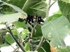 Solanum mauritianum Scop Bringellier marron, Tabac marron