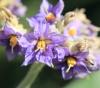 Solanum mauritianum Scop