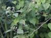 Solanum robustum. Morelle robuste. Morelle arbustive.