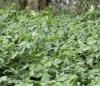 Solanum tuberosum L. Pomme de terre.