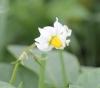 Solanum tuberosum L