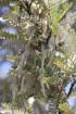 Sophora denudata Bory.