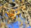 Sophora denudata Bory