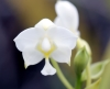 Spathoglottis plicata Blume