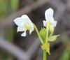 Spathoglottis plicata Blume.