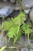 Sphaerostephanos arbuscula (Willd.) Holttum subsp. arbuscula.