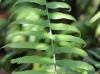 Sphaerostephanos elatus (Bojer) Holttum subsp. elatus