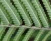 Sphaerostephanos unitus (L.) Holttum