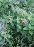 Stachytarpheta mutabilis (Jacq.) Vahl.