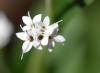 Stevia rebaudiana (Bertoni) Bertoni
