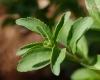 Stévia feuilles. Stevia rebaudiana