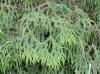 Sticherus flagellaris, fougère indigène de La Réunion