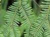 Sticherus flagellaris (Bory ex Willd.) Ching