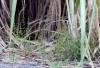 Striga asiatica (L.) Kuntze.
