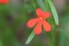 Striga asiatica (L.) Kuntze